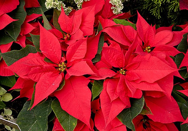 Red Poinsettias 2017